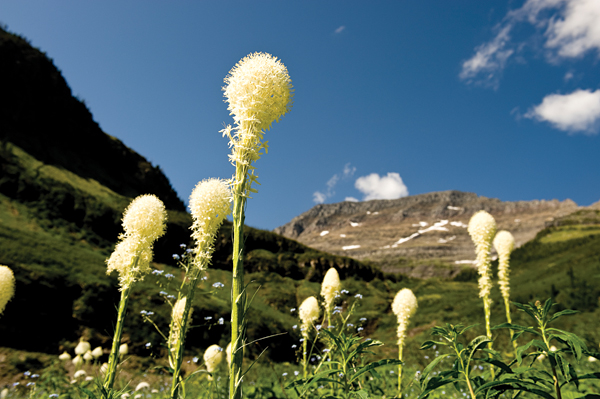Beargrass in Glacier National Park. Photo: Donnie Sexton