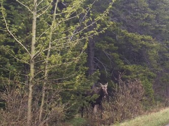 This was one (of two!) moose we saw in Many Glacier.
