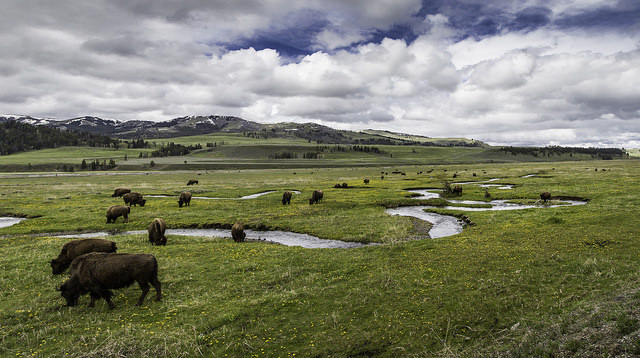 Bison along Rose Creek in Yellowstone National Park's Lamar Valley. Photo: Neal Herbert;
