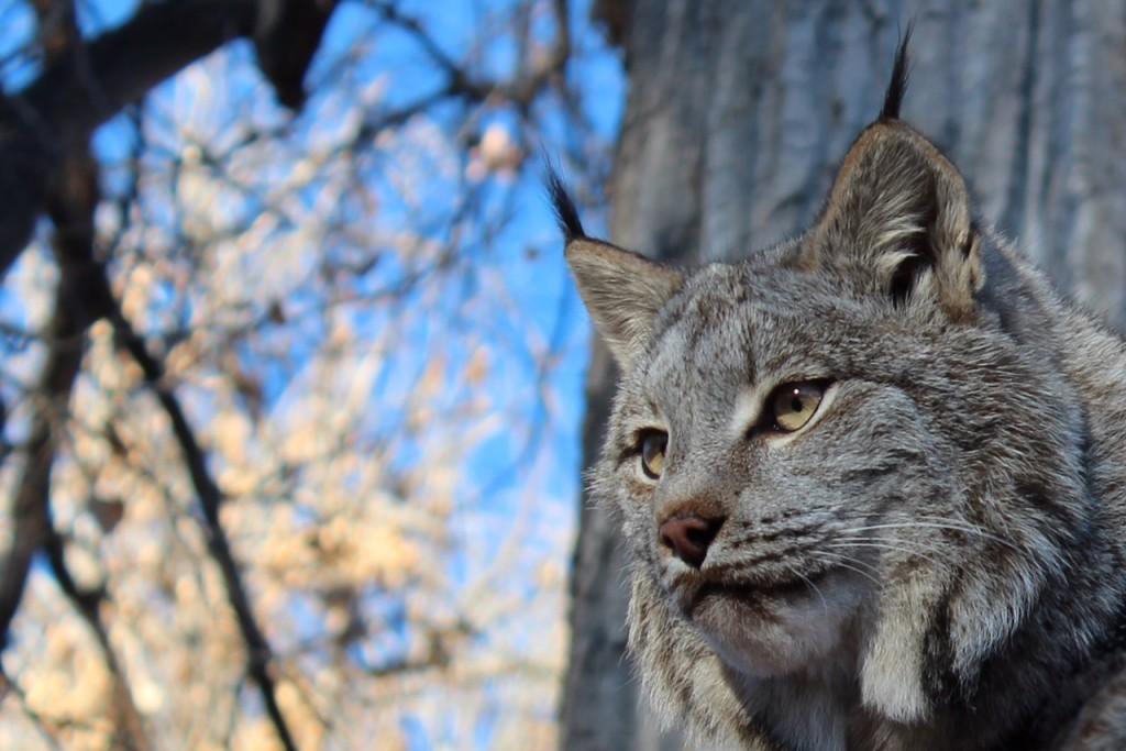 A Canadian lynx at ZooMontana.