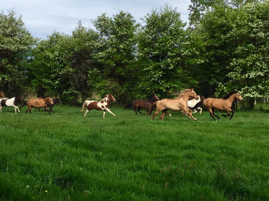 Letting the horses out to pasture.