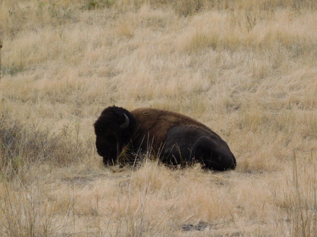 This bison was taking a nap. I think.