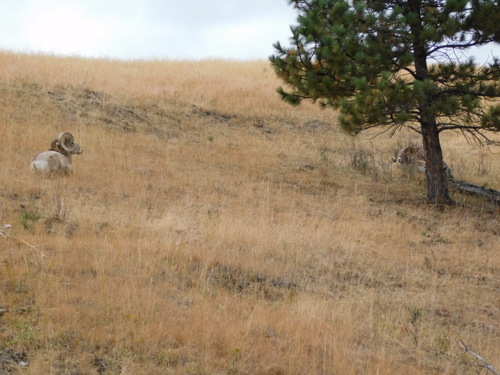We saw several bighorn sheep along the drive's route.