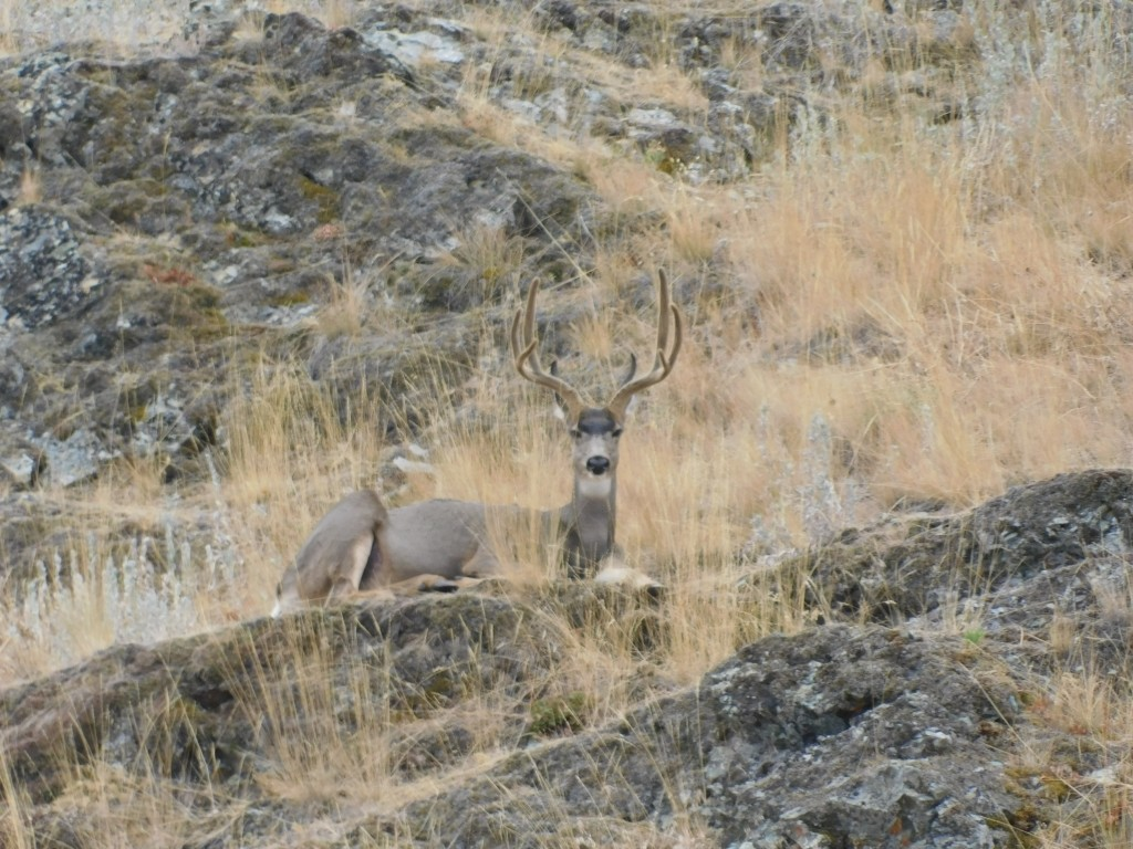 This buck's antlers were velvety gorgeous.