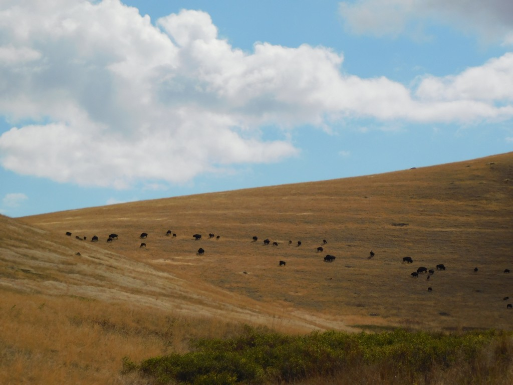 After seeing a handful of bison along Red Sleep Drive, we saw this massive herd as we were getting ready to leave.