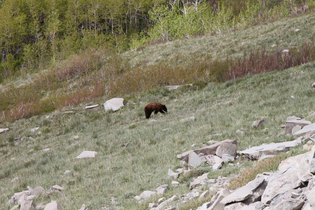 A yearling grizzly