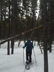Walking through a forest of lodgepole pines.