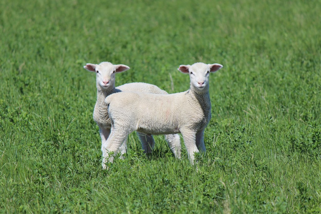 Um, is there anything cuter than baby lamb twins?