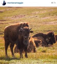 A bison at the National Bison Range.