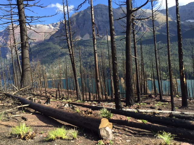 After hiking to Hidden Lake, we continued on the road toward St. Mary. Along the way, we stopped to take a look at the area that was burned by the Reynolds Creek Fire.
