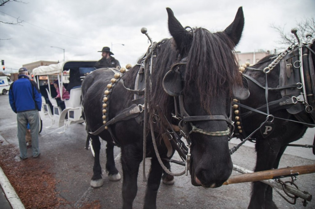 These two beauties give carriage rides in downtown Missoula. Photo courtesy Taylar Robbins.