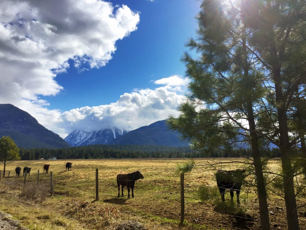A sure sign of spring in Montana: baby cows (also known as calves).