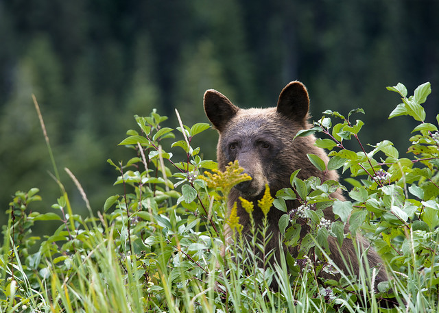 Always give bears plenty of room and never approach. Photos: GlacierNPS Flickr (Tim Rains)