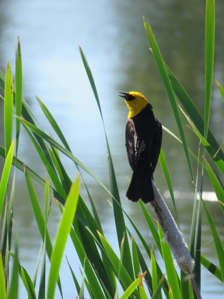 This image has an empty alt attribute; its file name is yellow-headed-blackbird-4-768x1024.jpg